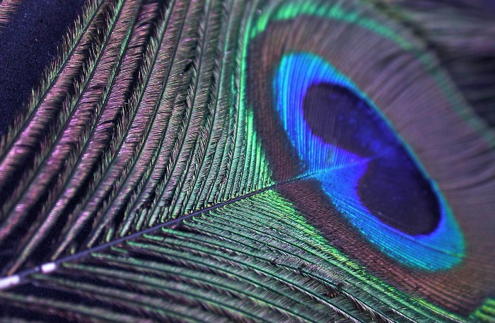 Close up image of peacock feather