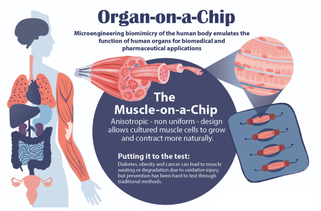 An illustration of a muscle on a chip by Melissa Pappas