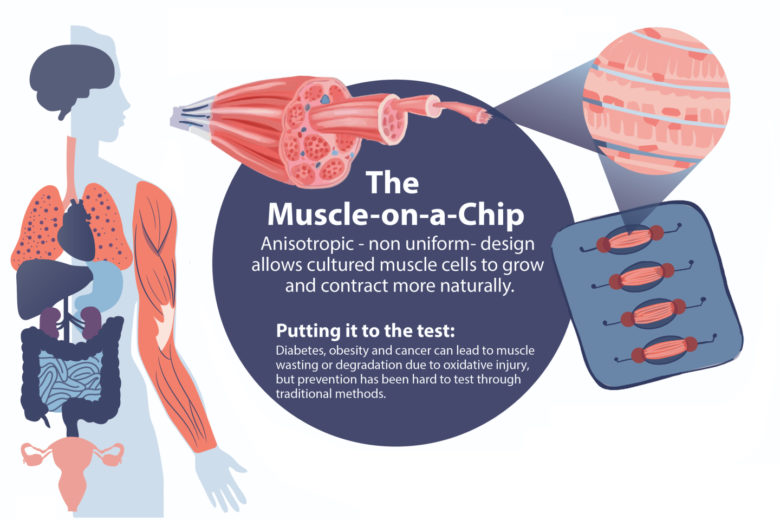 Section of an infographic illustrating the Huh Lab's organ-on-a-chip technology.