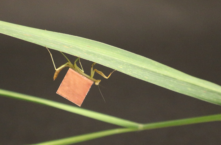 A praying mantis carries a microbattery on its back as it walks on the underside of a leaf.