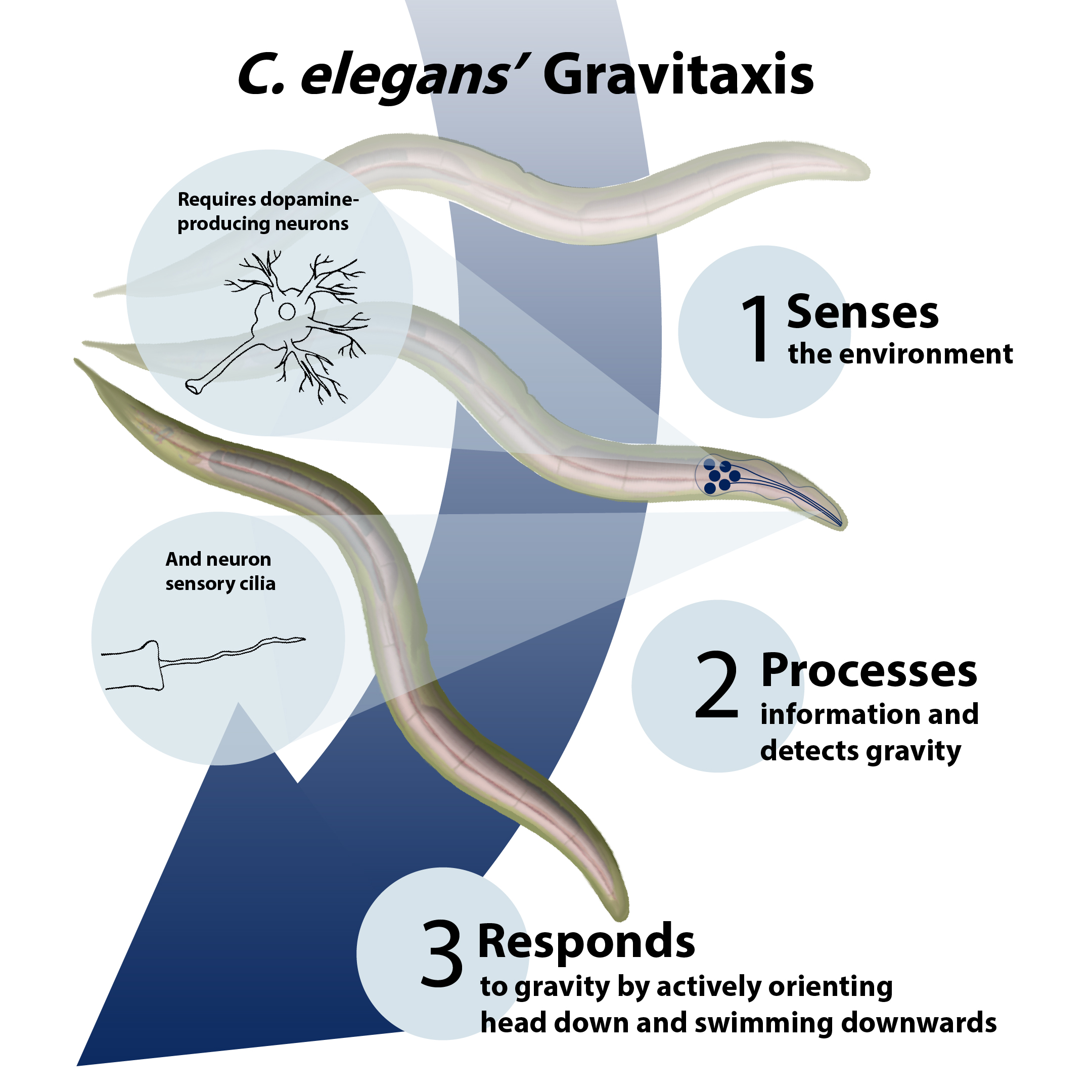 Infographic depicting how c.elegans senses, processes and responds to gravity.